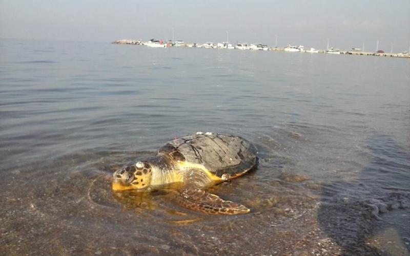Νεκρές θαλάσσιες χελώνες σε Αγία Τριάδα και Ν. Επιβάτες