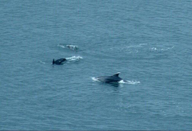 """Δελφίνια δίπλα στον """"Κωνσταντή""""! (ΒΙΝΤΕΟ)"""