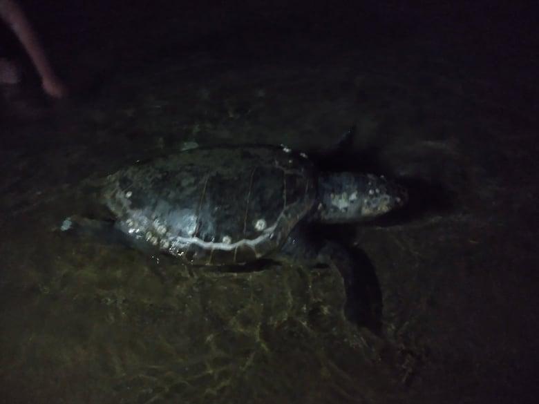 Ταλαιπωρημένη θαλάσσια χελώνα… (αποκλειστικές ΦΩΤΟ)